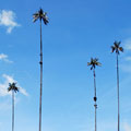 These wax palms in Salento, in the department of Caldas are the tallest in the world.